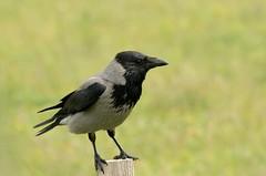 Hooded Crow (farrertracy) Tags: hoodedcrow mull corvid summer green grey