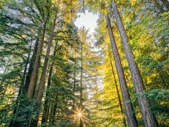 Let the Sun Shine (Robert Windel) Tags: morning redwoods sunshine phaseone iq3 100mp trichromatic
