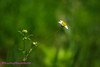 Chở người (Hương Thảo (ake)) Tags: butterfly xuyếnchi daisy tokina