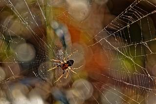 Tiny spider on web - Petite araignée sur toile