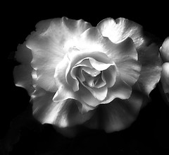 Tuberous Begoonia (annabelleny Thank you for your many views and comm) Tags: flower floral monochrome blackandwhite annjacobson tuberousbegonia ruffled