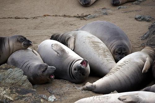 Happy Elephant Seals