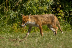 FOX (_jypictures) Tags: animalphotography animals animal animalplanet canon canon7d canonphotography fox wildlife wildlifephotography wiltshire naturephotography nature photography pictures ukwildlife