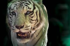 Tigresse (Scholt's) Tags: tigresse tigre nikon d7000 felin tiger blanc white rayure animal zoo beauval france eyes blue