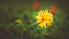 Dahlia (Dhina A) Tags: sony a7rii ilce7rm2 a7r2 a7r samyang 135mm f20 f2 samyang135mmf20 bokeh bokehlicious smooth soft creamy flower dahlia yellow