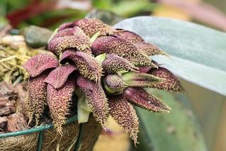 Bulbophyllum phalaenopsis; Orchidaceae (1)