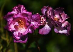 DSC_0443 (PeaTJay) Tags: nikond750 reading lowerearley berkshire macro micro closeups gardens outdoors nature flora fauna plants flowers rose roses rosebuds