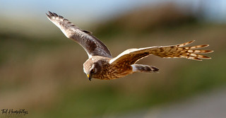 Hen harrier approaches on North Uist in May 2018