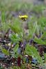 Tanacetum bipinnatum (Pevek, Siberia) (JohannesLundberg) Tags: asteraceae chukchipeninsulatundra asia anthemideae arcticislands2017 pevek capitulum asterids asteroideae asterales tanacetum botany inflorescence expedition chaunskydistrict tanacetumbipinnatum russia chukotkaautonomousokrug arktiskaöar2017 chukotskyavtonomnyokrug compositae pa1104 pseudanthium певе́к пээкин ча́унскийрайо́н чаанрайон чуко́тскийавтоно́мныйо́круг apapelgino chukotskiy ru