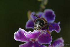 1-DSC_0001 (adamsshawn390) Tags: flowerwatcher duranta erecta honey bee