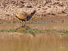 Ganga ortega (Pterocles orientalis) (49) (eb3alfmiguel) Tags: aves esteparias pteroclidiformes pteroclidae ganga ortega pterocles orientalis
