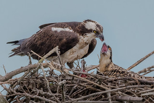 Osprey feeding time