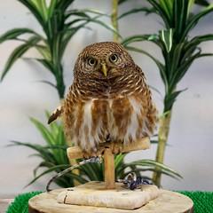 Owl in the Hedgehog cafe (AMcUK) Tags: chiyodaku tōkyōto japan jp em10 omdem10 omdem10mkii em10mkii omd olympus olympusuk m43 micro43rds micro43 microfourthirds nippon tokyo akihabara owl