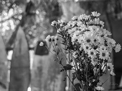 Father's Cacimba Beach - Fernando de Noronha/PE - flowers-bw (Enio Godoy - www.picturecumlux.com.br) Tags: fernandodenoronha beach g15 fatherscacimbabeach brazil niksoftware surf silverefexpro2 canon fatherscacimba canong15 flowers flower