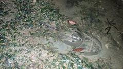 Mangrove horseshoe crab (Carcinoscorpius rotundicauda) (wildsingapore) Tags: changi carpark1 carcinoscorpius rotundicauda limulidae shore island singapore marine coastal intertidal seashore marinelife nature wildlife underwater wildsingapore