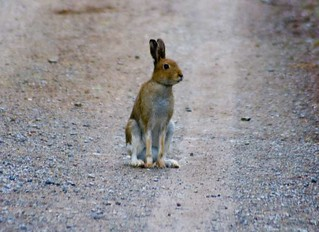 Irish Mountain Hare (Lepus timidus hibernicus)