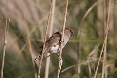 Pardal (Carlos Santos - Alapraia) Tags: sparrow pardal ngc ourplanet animalplanet canon nature natureza wonderfulworld highqualityanimals unlimitedphotos fantasticnature birdwatcher ave bird pássaro