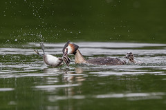 Great Crested Grebe Attacks (Simon Stobart) Tags: great crested grebe podiceps cristatus attacking its own young water lake northern england uk