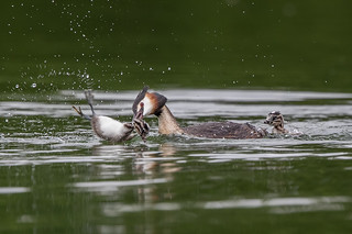 Great Crested Grebe Attacks