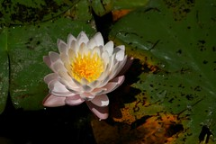 Water Lily 1 (Emily K P) Tags: bristolrenaissancefaire flower lily waterlily white petals green lilypads leaves pattern