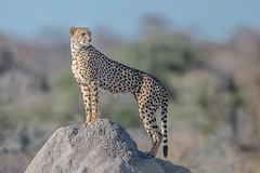Momma Cheetah on the Lookout (Kitty Kono) Tags: namibia cheetah female etoshanationalpark kittyrileykono africa cat