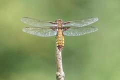 Broad Bodied Chaser (Adam Rawson) Tags: broadbodiedchaser dragonfly fe100400gm sonya6300