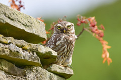 Little Owl 1 (Terry Angus) Tags: owl littleowl norden rochdale uk