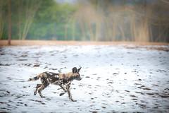 First Snow (jamesromanl17) Tags: painteddog dog dogs africanwilddog snow winter hunt hunting running animal animals nature naturalworld naturallight naturephotograph naturepics sun sunlight canon eos light
