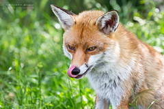 Nom nom nom ... (RichardBeech) Tags: red fox vulpesvulpes licking tongue nose portrait closeup wild wildlife animal mammal nature native uk britain fur summer ears grass outdoor canon canon5dmarkiii canon100400mm nom hungry lickinglips dorset purbeck arne wareham