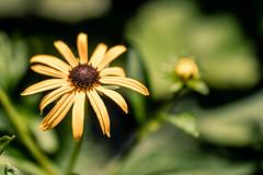 Sunny (rg69olds) Tags: 07082018 35mm 5dmk4 canoneos5dmarkiv lauritzengardens nebraska sigma35mmf14artdghsm canon downtown flower flowers omaha blackeyedsusan yellow sunny garden 35mmf14dghsm|a
