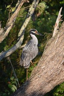 Yellow Crowned Night Heron - Nyctanassa violacea