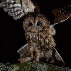 Tawny Owl (Mr F1) Tags: wild tawnyowl johnfanning strixaluco woodland wales forest wildlife bop birdsofprey raptor detail closeup nightphotography dark wings outdoors nature