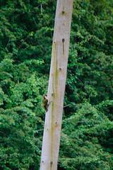 Green woodpecker on telegraph pole (Dave_A_2007) Tags: bird nature wildlife woodpecker stratforduponavon warwickshire england