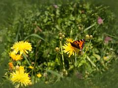 Schmetterling auf Sommerwiese (fotokarin57) Tags: elements wiese blumen schmetterling garten gras pflanze