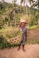 Balinese Rice Farmer (SemiXposed) Tags: farmer rice terraces ubud bali indonesia basket working outdiirs bare feet