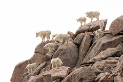 June 16, 2018 - A Mountain Goat herd on the top of Mount Evans. (Tony's Takes)