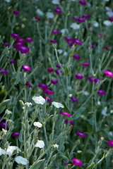 P1100102 (harryboschlondon) Tags: june june2018 18thjune2018 harryboschphotography harrybosch harryboschflickr harryboschlondon harrisgardens plantstreesandflowers botanical botanicalphotography naturephotography nature flowers flowersphotography england englandphotography green pink mauve white