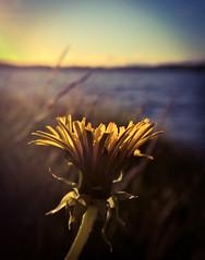 (Topolino70) Tags: nokia lumia 930 mobile lens dandelion voikukka beach ranta lake järvi sunset