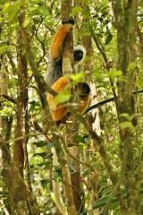 IMG_7949 Diademed sifaka (Propithecus diadema) (Kalina1966) Tags: madagascar animals lemur