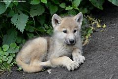 Hudson Bay Wolf - Olmense Zoo (Mandenno photography) Tags: animal animals olmense olmensezoo olmen belgie belgium wolf hudson bay dierenpark dierentuin dieren zoo ngc nature
