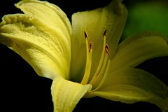 daylily (coldweatherblue) Tags: lily flower macro tn chattanooga home scatteredlight easypic