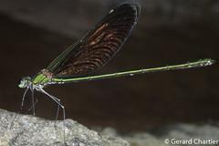 Neurobasis chinensis (GeeC) Tags: animalia arthropoda calopterygidae cambodia damselflies insecta kohkongprovince nature neurobasis neurobasischinensis odonata tatai zygoptera