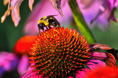 Busy Bee (jed52400) Tags: echinacea daisyfamily bee pollination