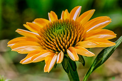 yellow cone flower