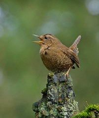 First Audition (ebirdman) Tags: pacificwren pacific wren troglodytespacificus troglodytes pacificus