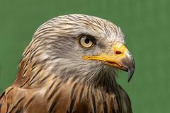 Red Kite (michel1276) Tags: rotmilan redkite greifvogel raptor bird birdofprey birds sonya7iii fe8514gm vogel tier animal