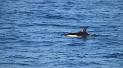 Common Dolphin (Clare_leeloo) Tags: commondolphin dolphin cetaceans wildlife gibraltar sealife