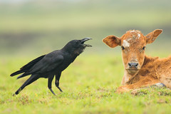 Teacher (ahmedezaz76) Tags: crow cow teaching pain teacher wildbird wildlife natural nature outdoor beauty bangladesh composition