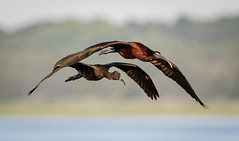 Flight Training (tresed47) Tags: 2018 201807jul 20180709njoceancitybirds birds canon7dmkii content folder glossyibis ibis july newjersey oceancity peterscamera petersphotos places season summer takenby us