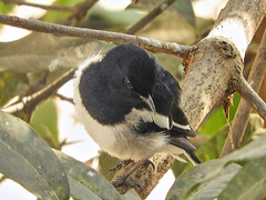 Oriental Magpie-Robin (Birdwatcher18) Tags: orientalmagpierobin birds birding birder birdwatching tree birdonbranch nature